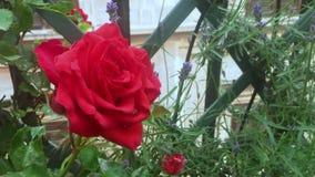 特写镜头观点的一朵新近地开花的红色玫瑰 股票视频