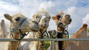 特写镜头观点的四头好奇骆驼 库存照片