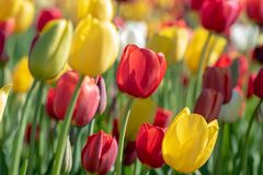 特写镜头观点的在郁金香农场的五颜六色的郁金香 免版税库存图片