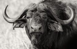 特写镜头观点的在黑白照片的一头唯一水牛 斯威士兰 库存照片