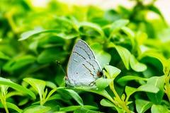 特写镜头观点的灰色翅上有细纹的蝶蝴蝶,灰蝶科类Melinus 免版税库存照片