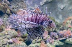 特写镜头观点的红色蓑鱼 库存图片