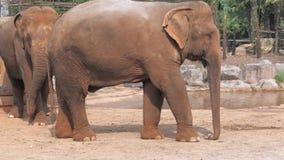 特写镜头观点的非洲大象在动物园里 股票录像