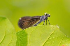 特写镜头视图从下面蜻蜓我在一片叶子相信有光滑的绿色背景-了不起的宏观细节的Jewelwing种类 库存照片