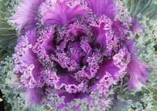 特写镜头视图紫色装饰无头甘蓝在达拉斯,得克萨斯 免版税库存图片