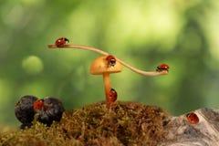 特写镜头许多瓢虫临近在绿色背景的蘑菇 库存照片