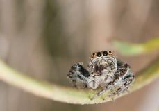 特写镜头跳的蜘蛛 免版税库存图片