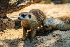 特写镜头逗人喜爱的Meerkat海岛猫鼬类suricatta从他的搬出 库存图片