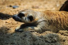 特写镜头逗人喜爱的Meerkat海岛猫鼬类suricatta 库存照片