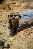 特写镜头逗人喜爱的Meerkat海岛猫鼬类suricatta 免版税库存图片