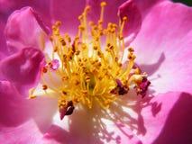 特写镜头通配microspur的玫瑰 免版税库存图片