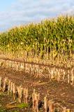 特写镜头部分地收获了青贮玉米 库存图片