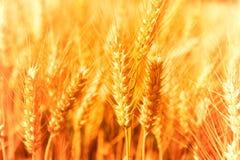 特写镜头金黄麦子 免版税库存照片