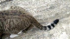 特写镜头长尾巴和腰臀部分,猫底部  影视素材