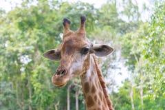 特写镜头长颈鹿在动物园里站立并且是一个栖所本质上 库存图片