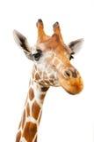 特写镜头长颈鹿纵向 免版税图库摄影