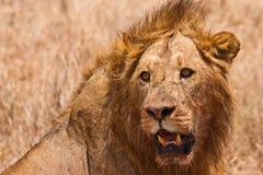 特写镜头顶头狮子男 免版税库存图片