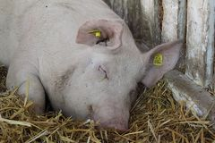 特写镜头顶头猪睡觉 库存照片