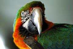 特写镜头顶头金刚鹦鹉红色 库存图片