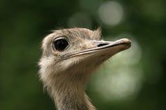 特写镜头顶头驼鸟 库存照片