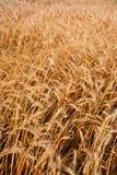特写镜头领域垂直麦子 免版税图库摄影