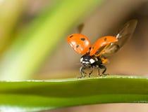 特写镜头飞行瓢虫准备好 免版税库存图片