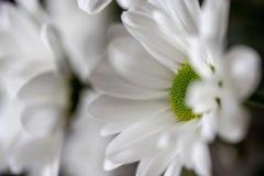 特写镜头高度详述了一些美丽的白色和绿色菊花射击  免版税库存照片