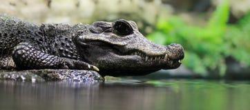 特写镜头鳄鱼 库存图片