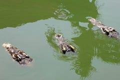 特写镜头鳄鱼 免版税库存图片