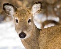 特写镜头鹿母鹿白尾鹿 库存照片