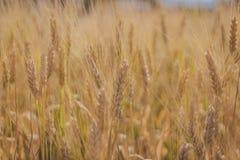 特写镜头麦子归档了 免版税库存照片