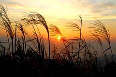 特写镜头麦子植物现出轮廓反对日落 免版税库存图片