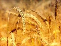 特写镜头麦子 免版税库存图片