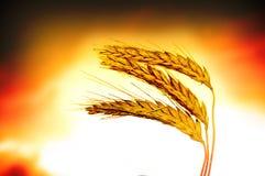 特写镜头麦子 库存照片