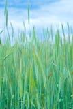 特写镜头麦子 免版税库存照片