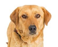 特写镜头黄色拉布拉多猎犬杂种狗 免版税库存照片