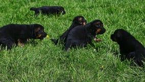 特写镜头黑德国牧羊犬小狗在绿草使用 股票录像