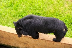 特写镜头黑熊在墙壁上站立在动物园里 库存照片
