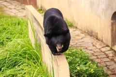 特写镜头黑熊沿障碍走在动物园里 免版税库存照片