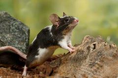 特写镜头黑白装饰老鼠站立在爪子和查寻背面在老木头和石头附近 免版税图库摄影