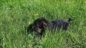 特写镜头黑色德国牧羊犬在绿草的小狗爬行 股票视频