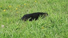 特写镜头黑色德国牧羊犬在绿草的小狗睡眠 股票视频