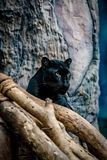 特写镜头黑豹 库存照片