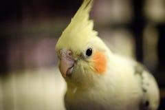 特写镜头,在他的鸟笼看见的浅焦点观点的一只公小形鹦鹉鸟 免版税图库摄影