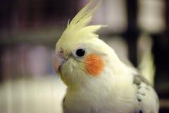特写镜头,在他的鸟笼看见的浅焦点观点的一只公小形鹦鹉鸟 免版税库存照片