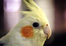 特写镜头,在他的鸟笼看见的浅焦点观点的一只公小形鹦鹉鸟 免版税库存图片