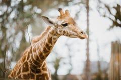 特写镜头,在多云天气最近察觉的一头幼小非洲非洲长颈鹿的画象,冷的季节 免版税库存图片