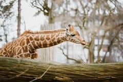 特写镜头,在多云天气最近察觉的一头幼小非洲非洲长颈鹿的画象,冷的季节 免版税库存照片