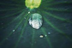 特写镜头,在绿色莲花的水滴离开 免版税库存照片