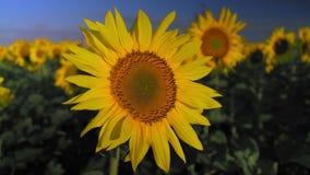 特写镜头,摇摆在黎明太阳的光芒的风的向日葵花 股票录像